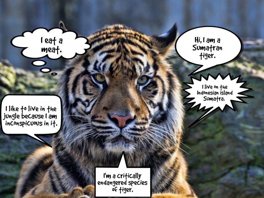 Hi, I am a Sumatran tiger.  | phrase.it